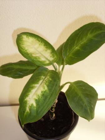 Zelfde plant, andere bladtekening?