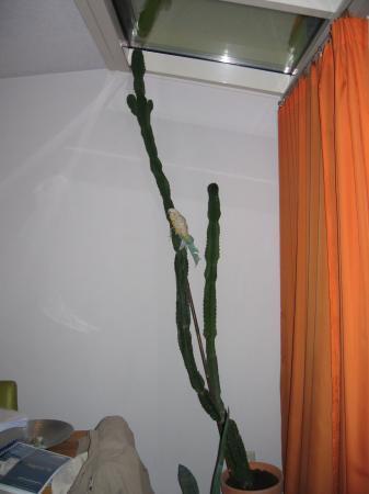 HELP!!! Hoe snoei ik mijn 2,4m lange cactus?