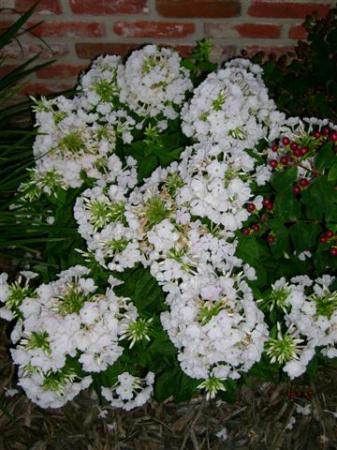 Elk jaar mooie witte bloemen..