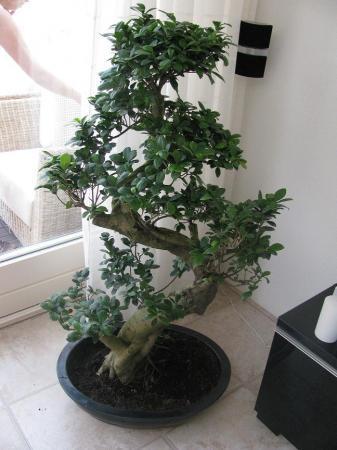 Bonsai van +-1.40 maar welke soort
