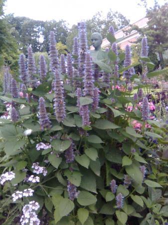 Wie kent deze plant met paarse bloemen?