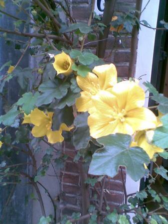 Welke plant: gele bloem+vijgvormig blad