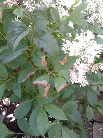 Sering - bruin en verkleurd blad