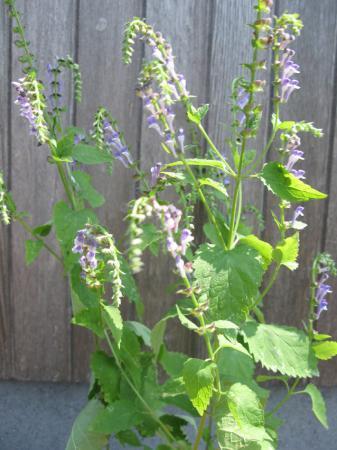 Vermoedelijk Salvia, maar welke?