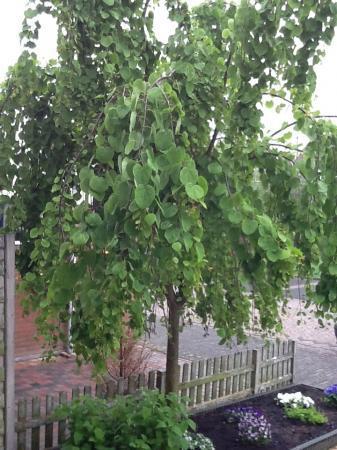 Herkent iemand deze boom?