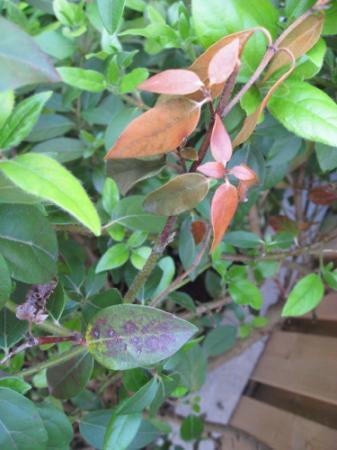 Viburnum Tinus blijft dood blad en takken geven