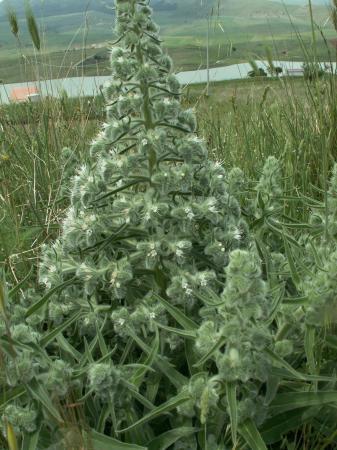 gezien in sicilie, hoe heet deze plant?