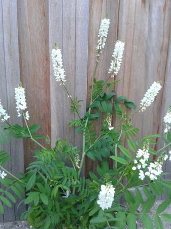 Plant/heester met witte bloemtrossen