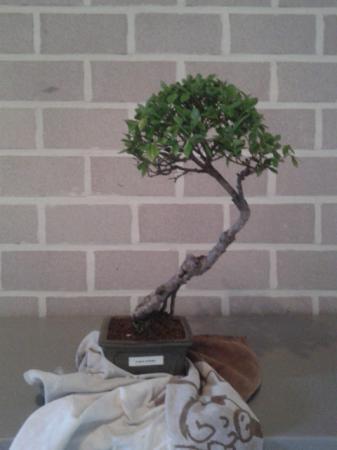 leeftijdsbepaling bonsai