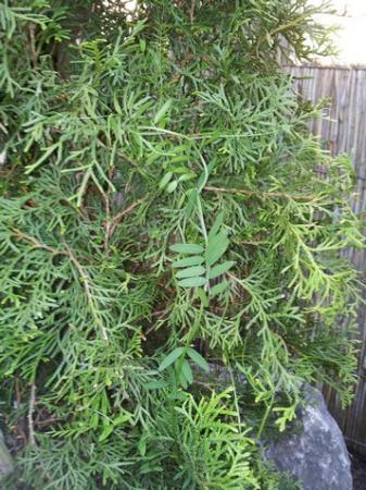 Wie weet welke klimplant dit is?