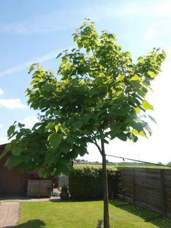 boom catalpa, tak verwijderen of niet