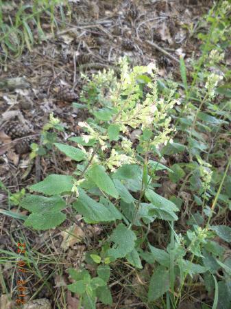 heideplant