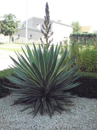 yucca bloei