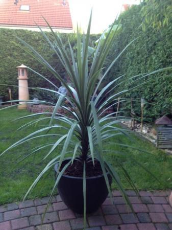 Cordyline Australis in volle grond?