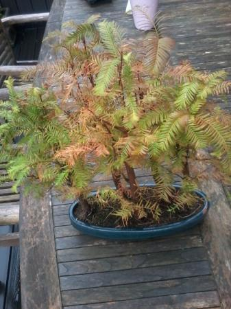vraagje over een sequoia bonsai