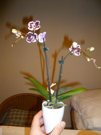 Nieuwe mini-phalaenopsissen