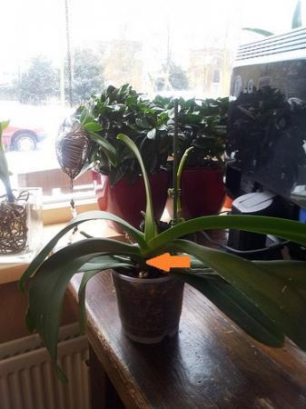 Phalaenopsisrot?
