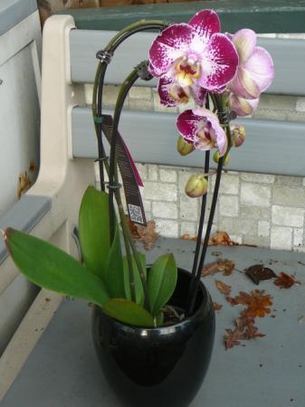Nieuwste aankoop phalaenopsis