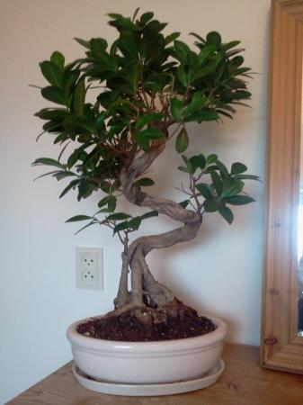 Bonsai Ficus verliest blad