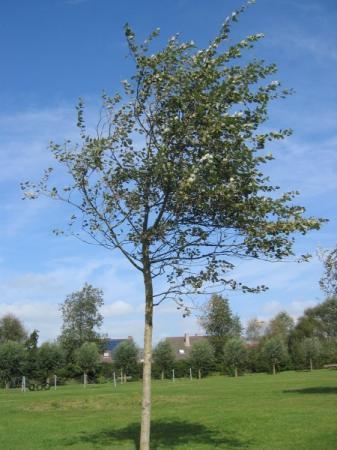 Welke boom is dit ?