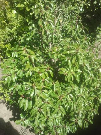 Welke Prunus