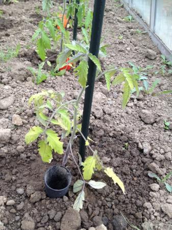 Problemen met tomaten in de serre