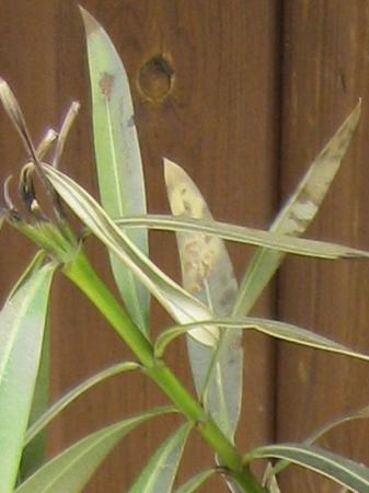 blad van Oleander