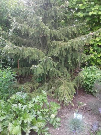 Picea Omerica onderste takken snoeien?