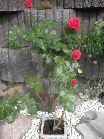 Hoe kan een Roze rozenstruik Rood bloeien?