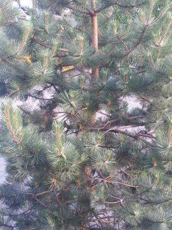 wat voor pinus boom heb ik in mijn tuin?