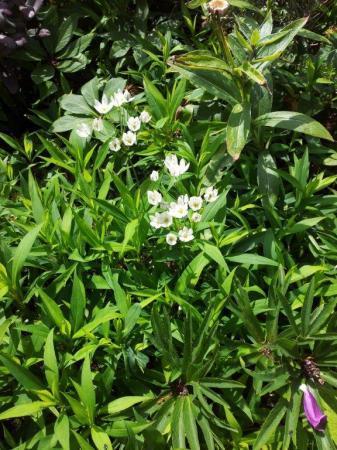 witte bloem; lijkt sterk op zwanenbloem