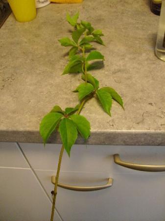 Wie weet naam van deze klimplant