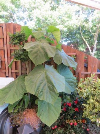 Onbekende plant met grote bladeren