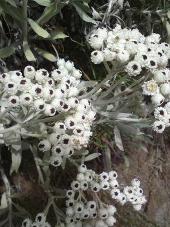 Welke bloem/plant is dit gebergte Madeira?