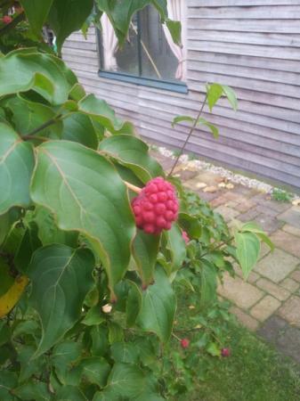 Struik met rode vruchten