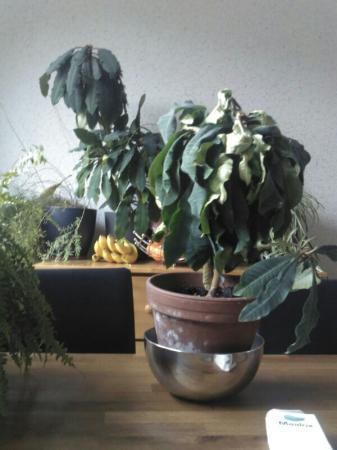 vreemde bladeren bij Euphorbia leuconeura