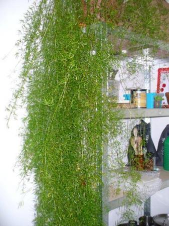 Asparagus verkommert plotseling