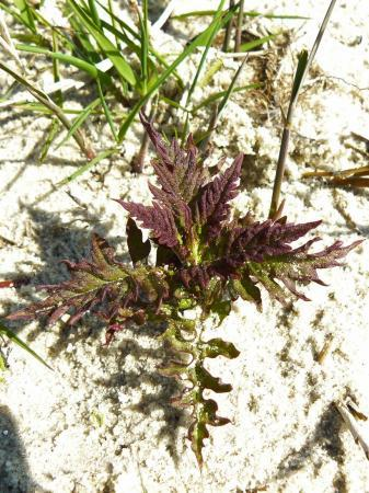 Jong onbekend plantje op zandgrond