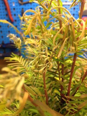 Verschrompelde blaadjes Metesequoi
