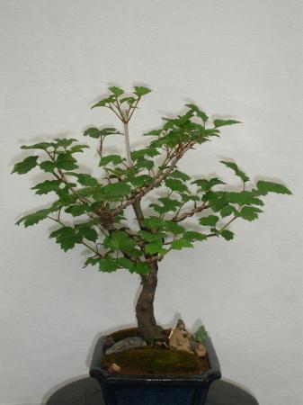 Welke soort bonsai is dit