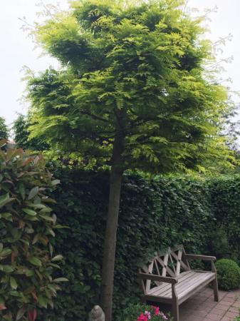 Welkeboom is dit en wanneer kan hijgesnoeid worden