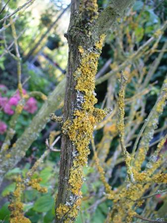 Gele vlekken op stam van boerenjasmijn