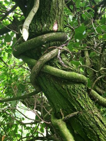 Wilde klimop of cultivar?