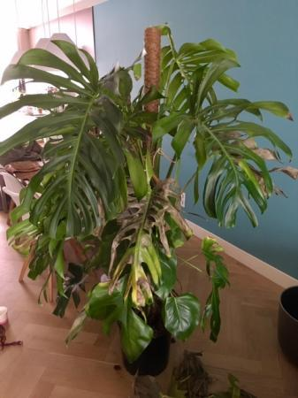 Gatenplant met bruin blad - wie weet raad?