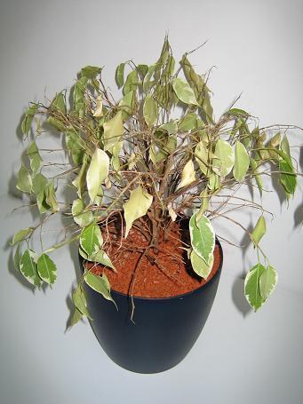 Ficus verliest veel blad.