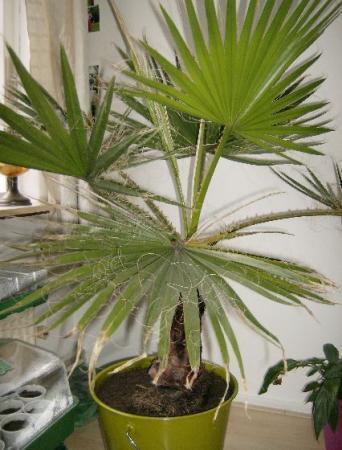 Welke palm is dit?
