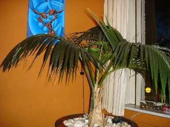 Palm ziekte (zie foto)