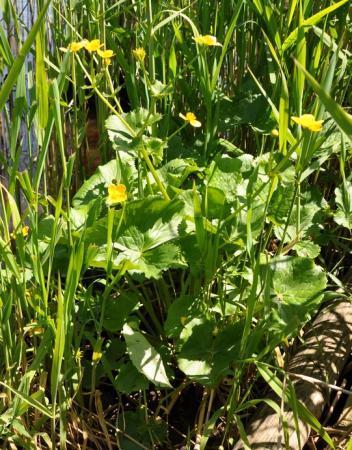 Naam van plant met gele bloemen langs rivier