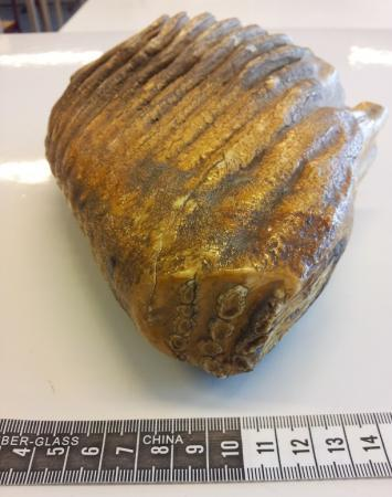 Fossiele kies?