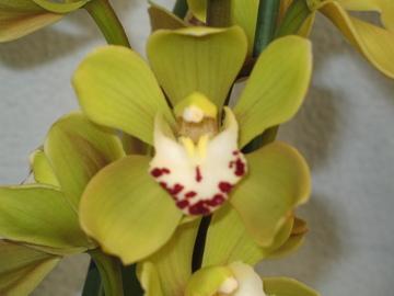 Welke orchidee is dit?